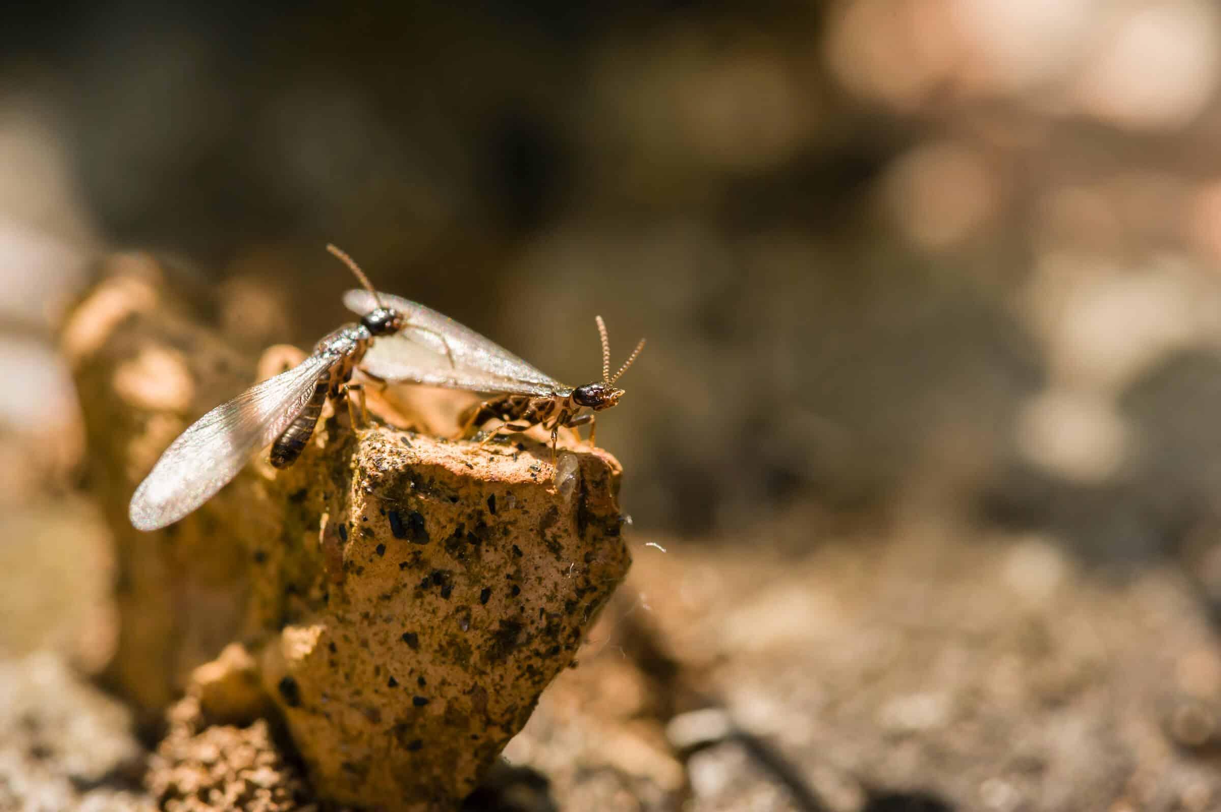 termites 5